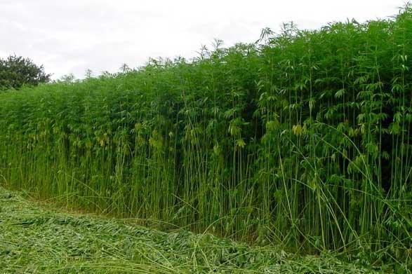 Healthy hemp crop half slashed